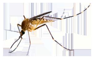 komar nasz wróg