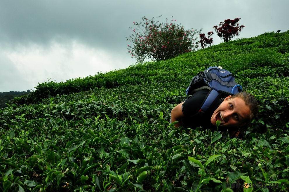 Alicja wśród krzaków herbacianych