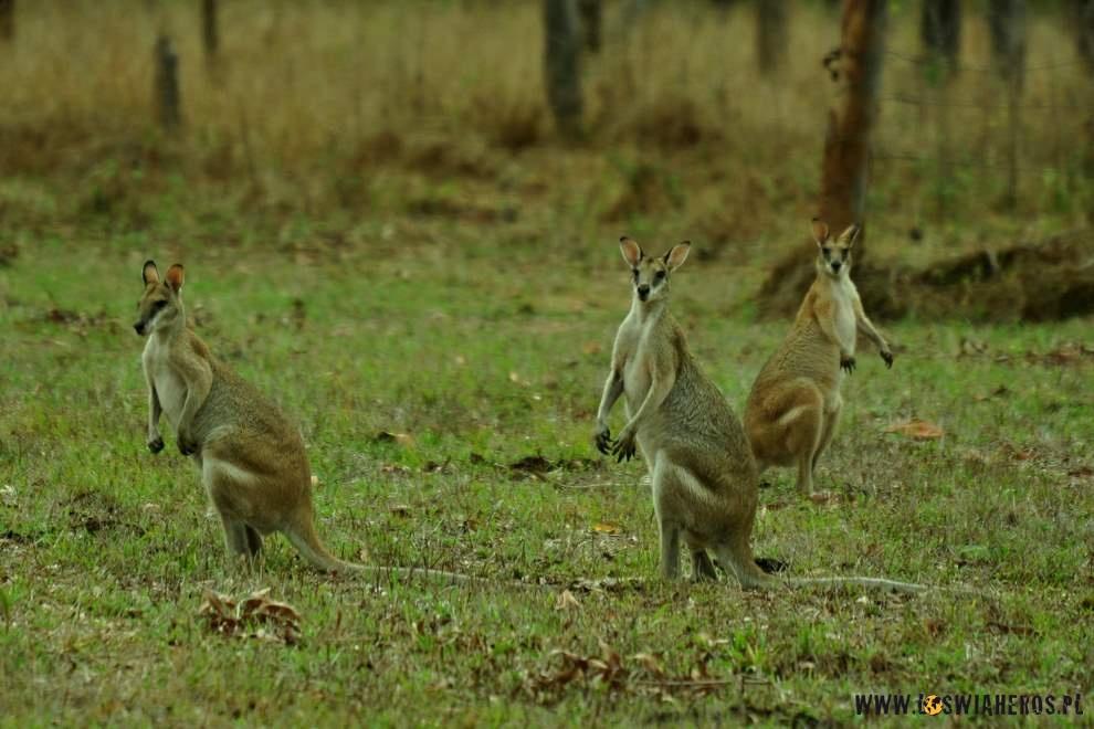 Walabi, czyli małe kangury.