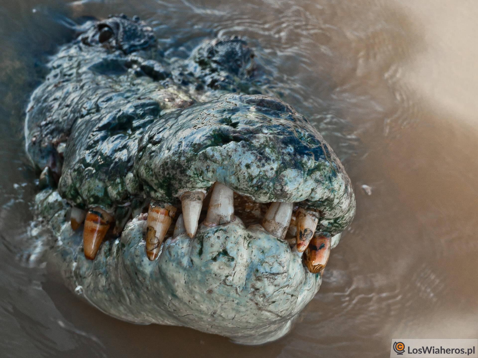Krokodyl słonowodny wTerytorium Północnym, Australia