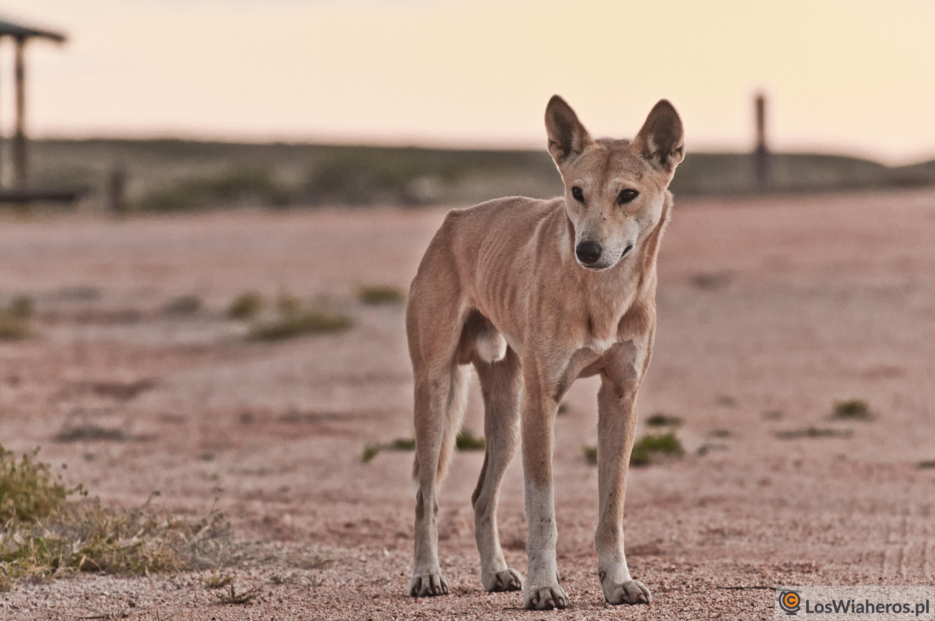 Dingo, gdzieś waustralijskim Outbacku.