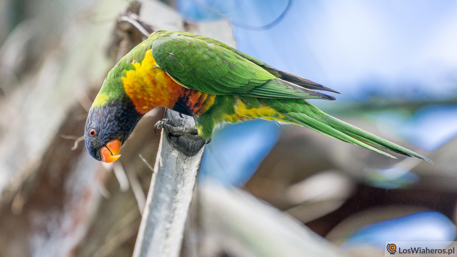 Loriketka Tęczowa, czyli najbardziej powszechna papuga wAustralii - są ich tysiące zarówno wbuszu jak iwmiastach.