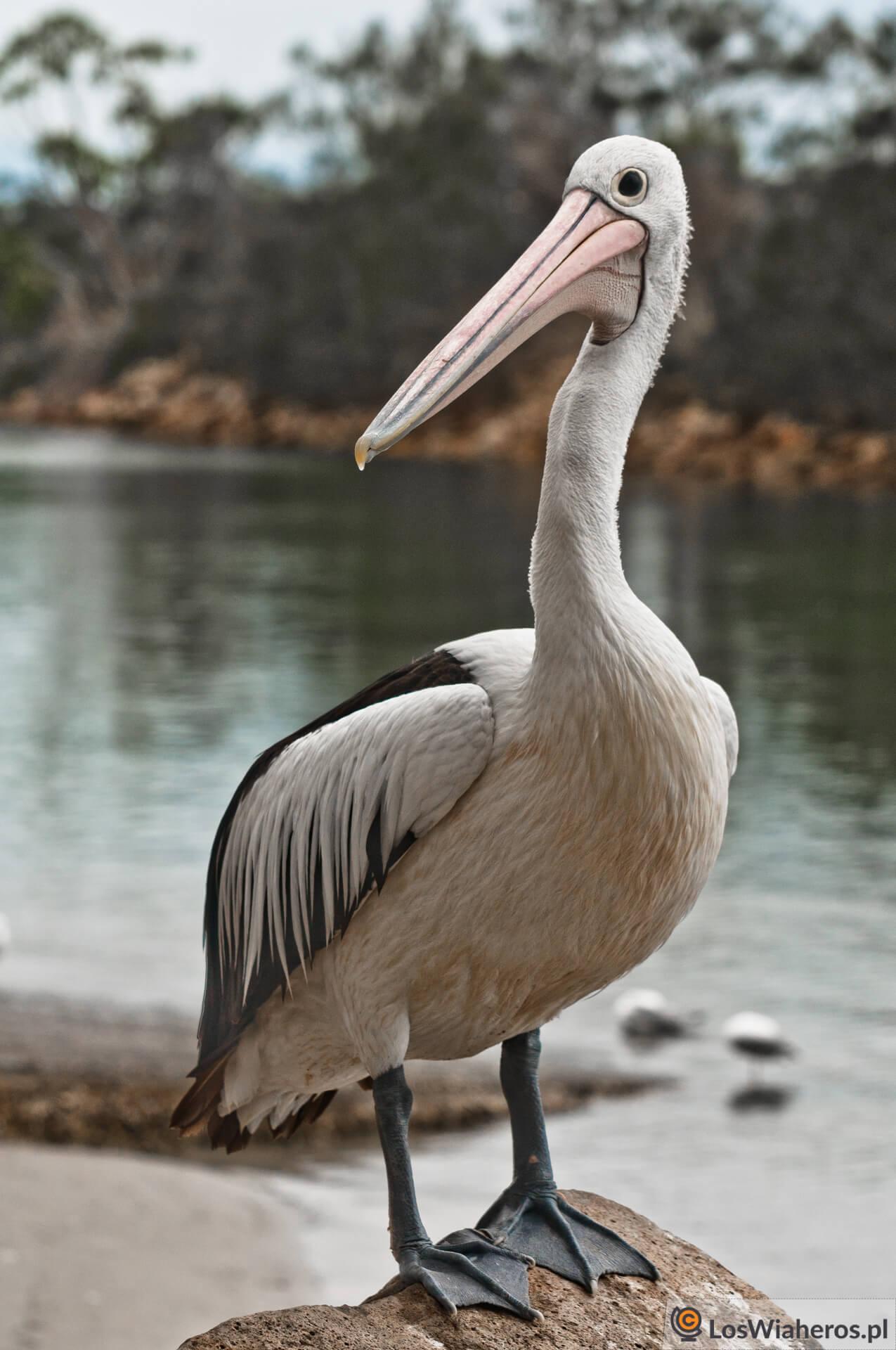 Znudzony pozowaniem pelikan, Qeensland, Australia.