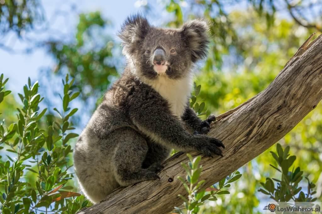australia_sa_morialta_koala-00714