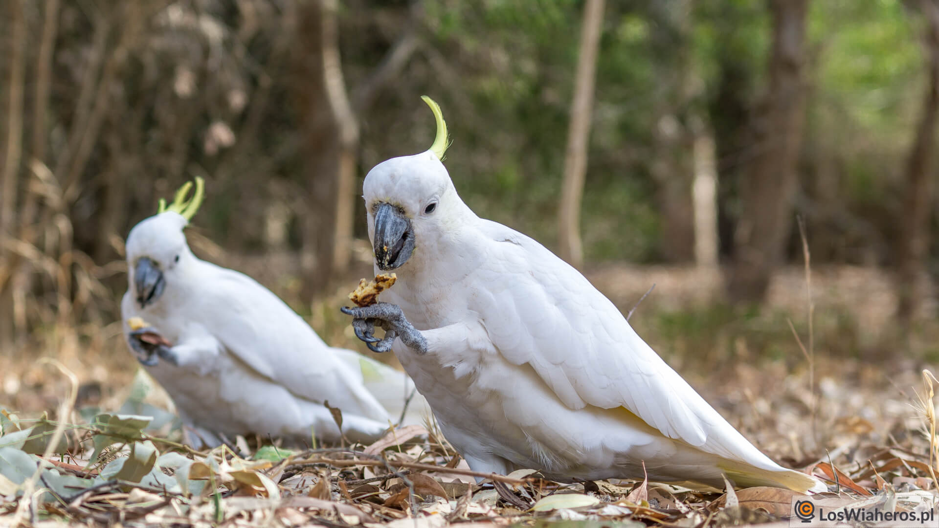 Dwa Kakadu, które ukradły nam wigilijne placki kukurydziane