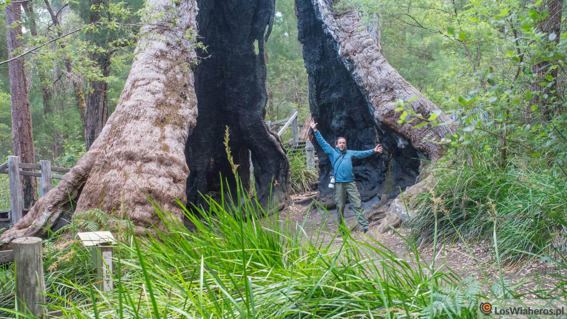 W środku Giant Tingle Tree!