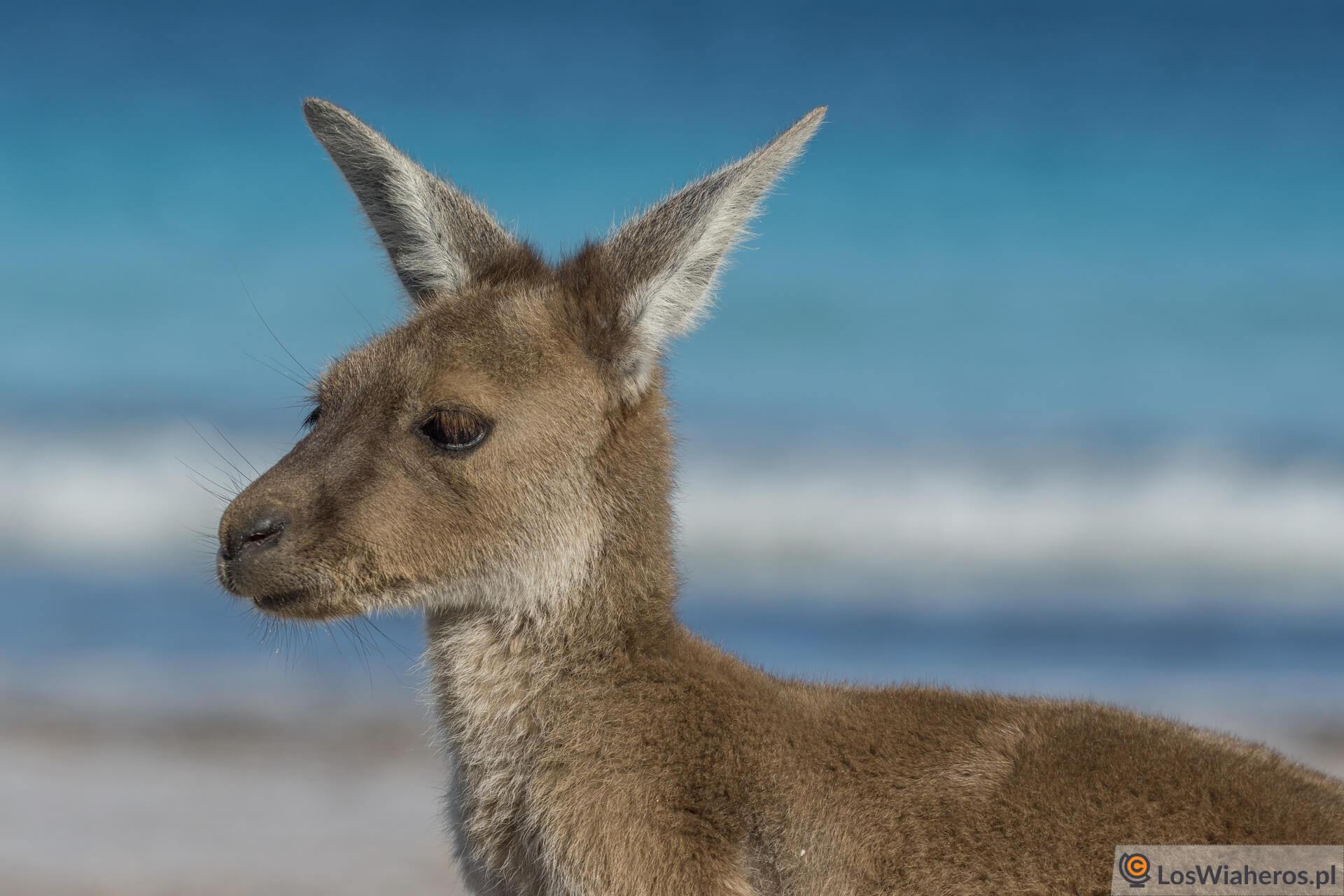 Kangury są jak sarny! :)