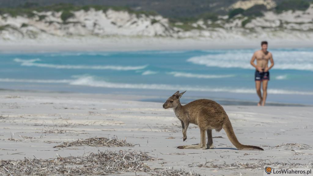 Zdezorientowany kangur wLucky Bay - opalać się czyjeść?
