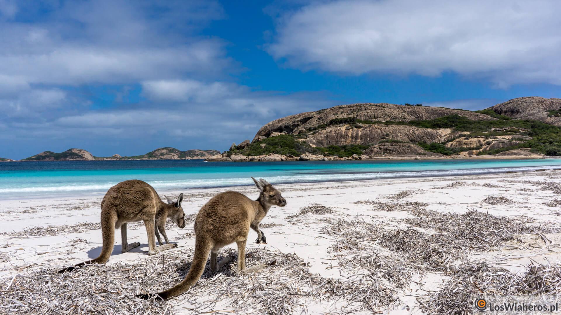 Walabies wLucky Bay, Australia Zachodnia