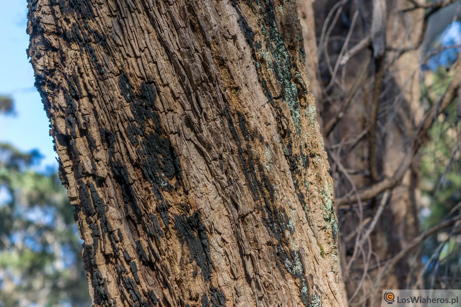 Opalony przez bushfire Giant Tinde Tree