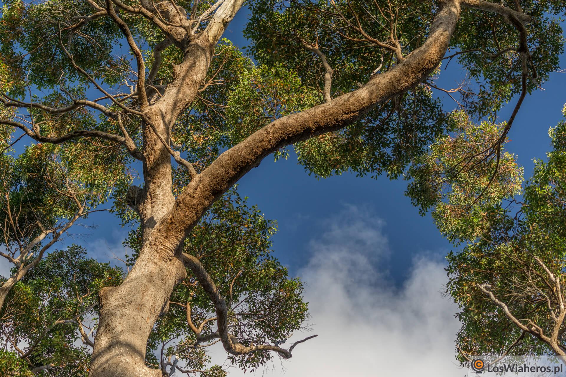 Giant Tinglee Tree nieopodal Walepole w Zachodniej Australii.