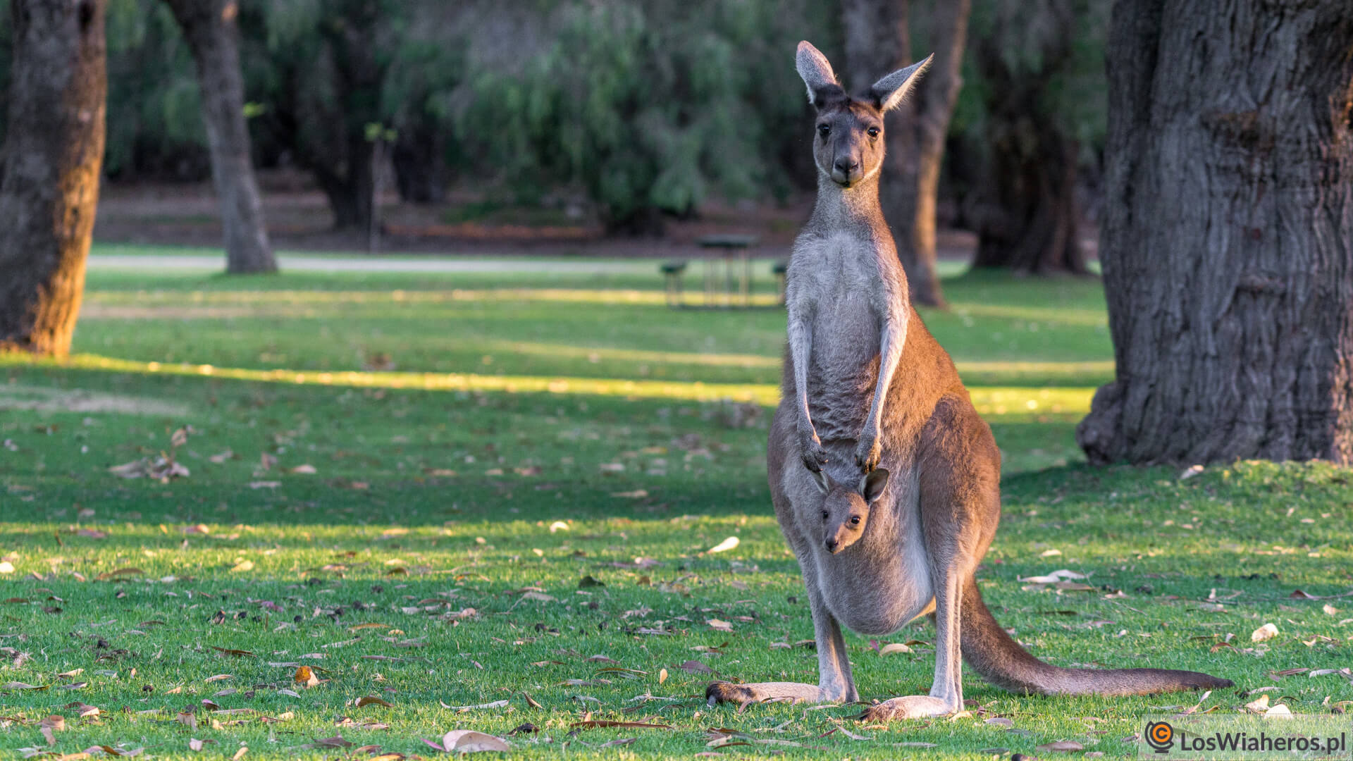 Kangurzyca z małym kangurkiem w torbie.