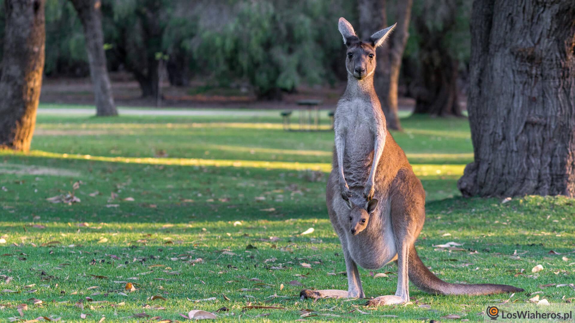 Kangur toczywallaby?
