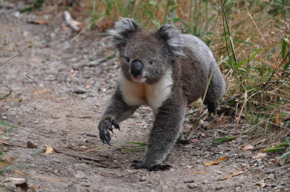 australijski_koala_20110112_1282861782