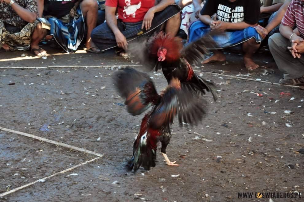 Ponoć nielegalne walki kogutów na Bali.
