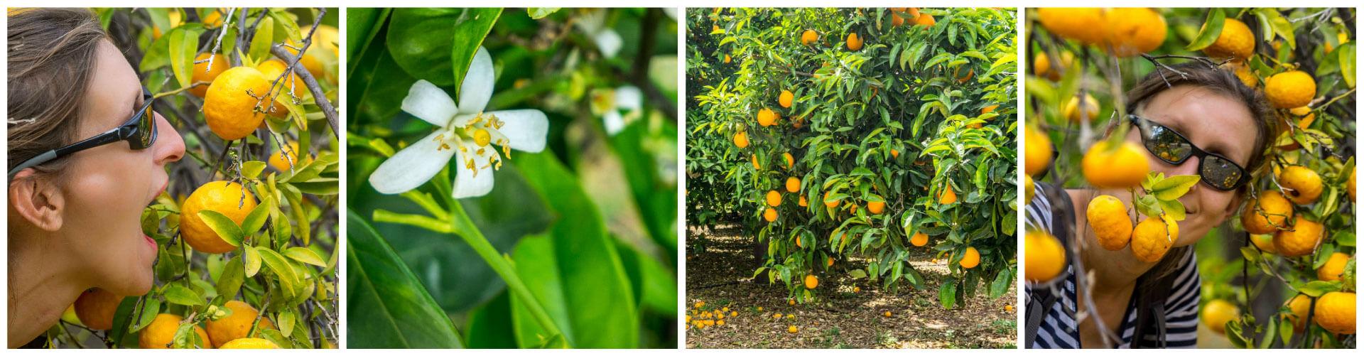 grecja_epidauros_pomarancze_kwiaty