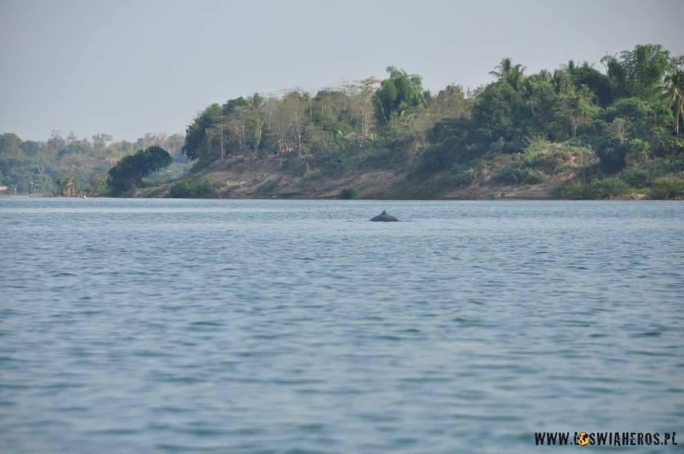 Na granicy Kambodży iLaosu radośnie skaczą delfiny słodkowodne.