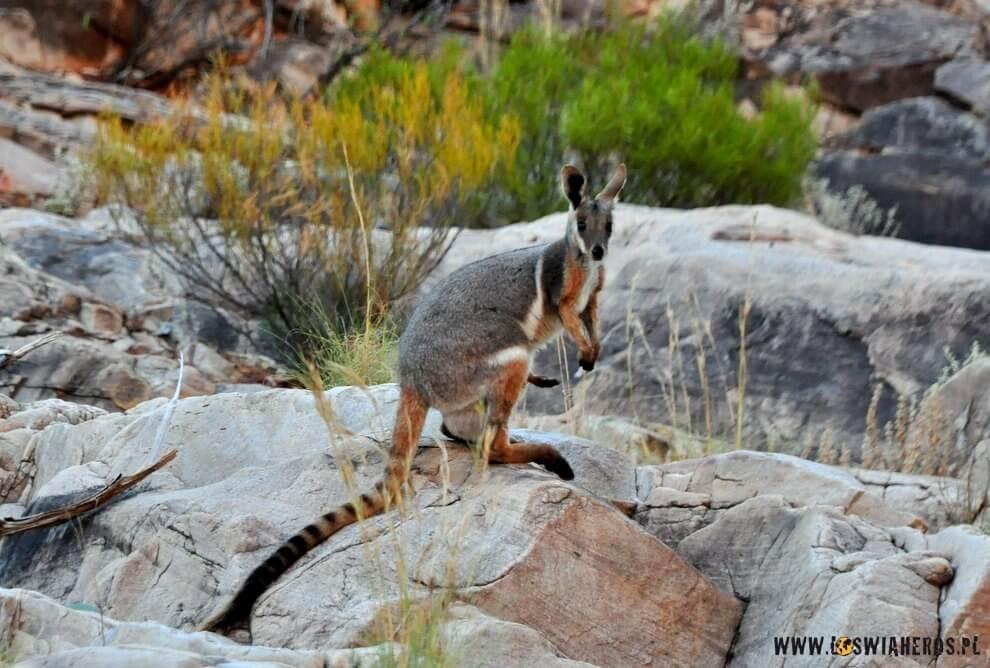 Walabi, czyli mniejszy brak australijskiego kangura