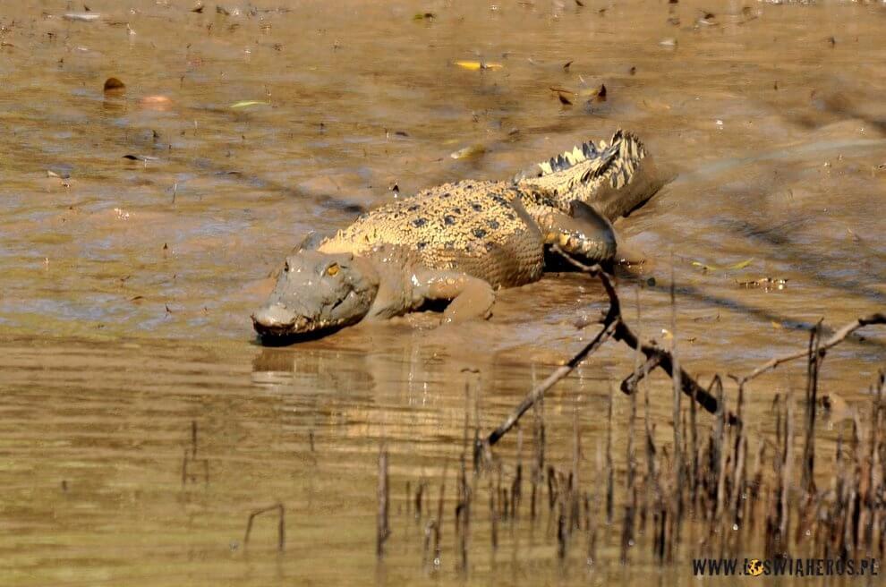 krokodyl_rusza_do_ataku