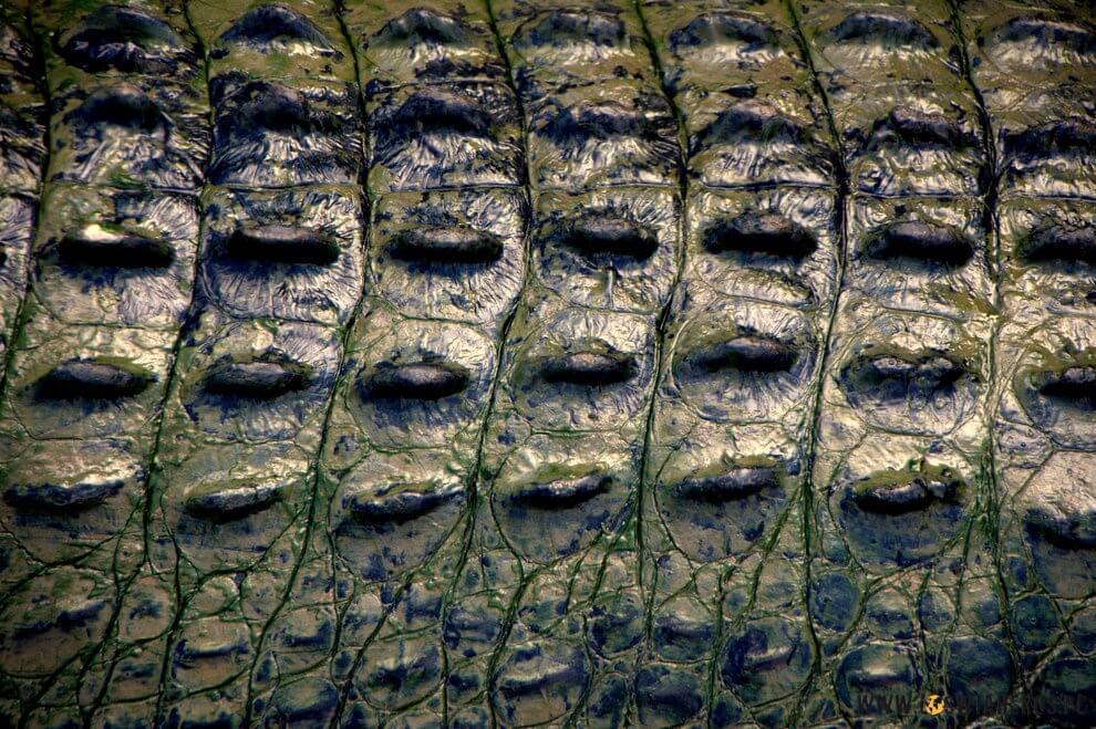 krokodyla_skora_dosc_cenna_obecnie