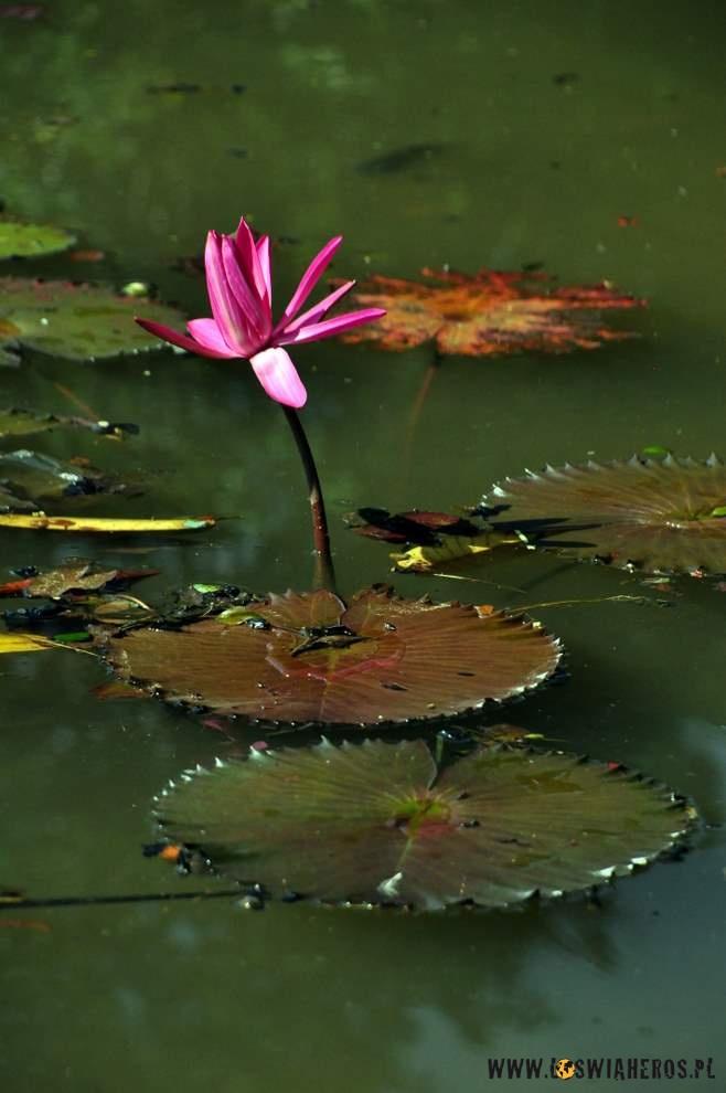 Lilie wodne wparku miejskim wBogor