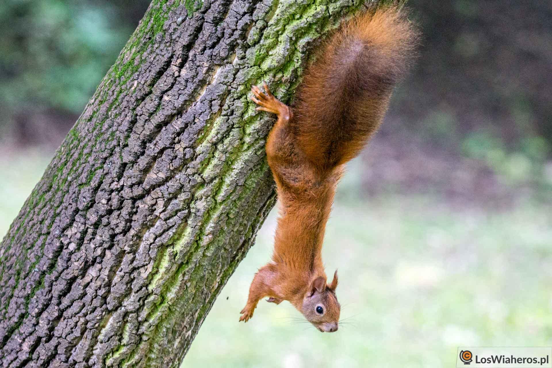 Wiewiórka w w Parku Bednarskiego!