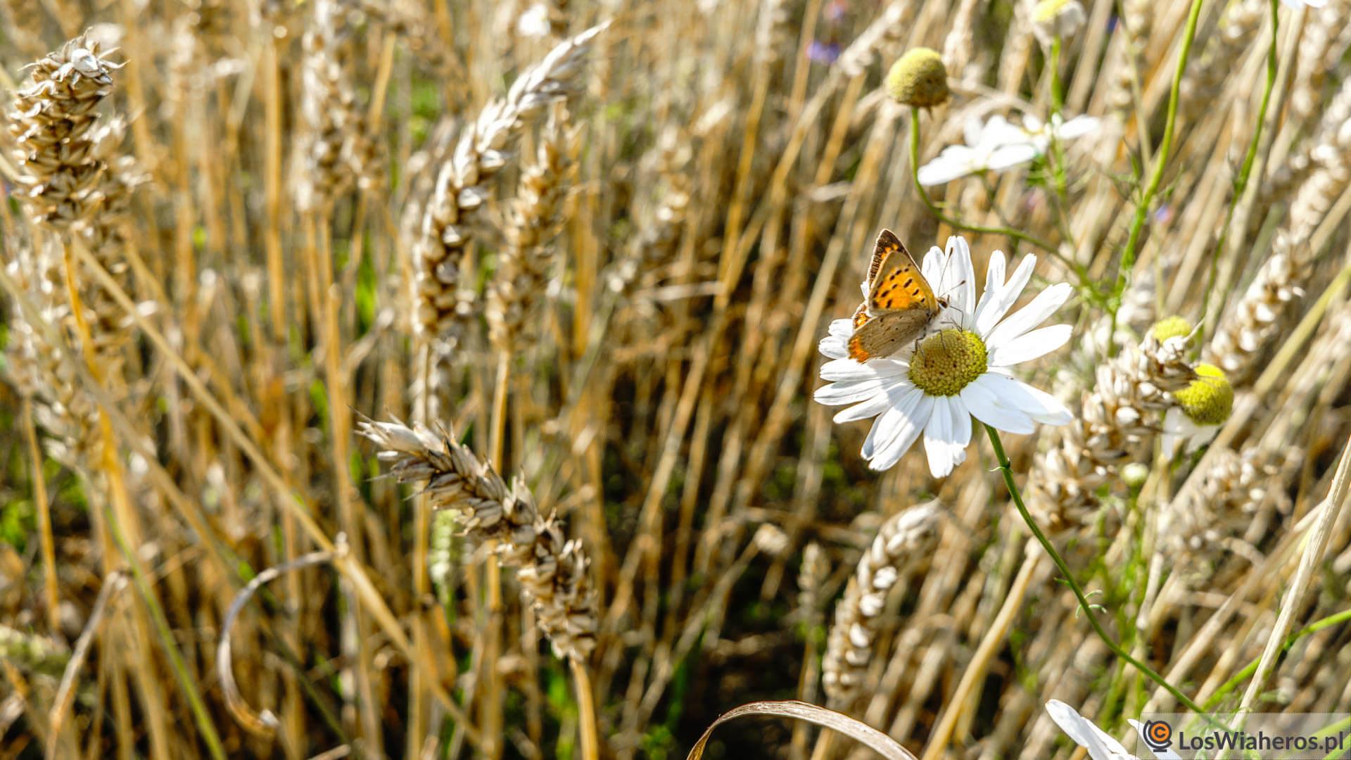 Złociste łąki pełne motyli...