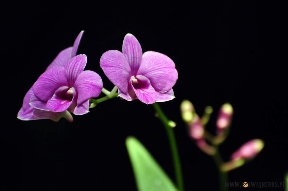Najpiękniejsze orchidee widzieliśmy w Singapurze.