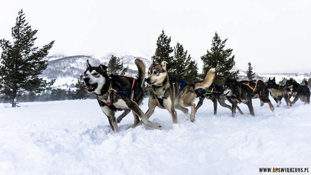 norwegia-geilo-psie-zaprzegi