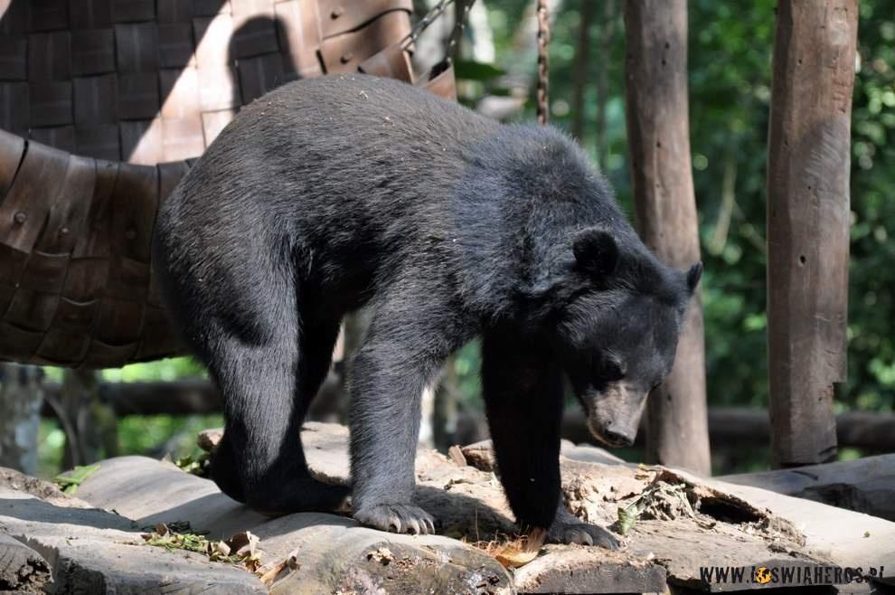 Odratowany niedźwiedź tybetański