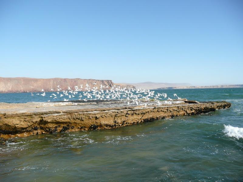 Pełno ptaków wParku Paracas.