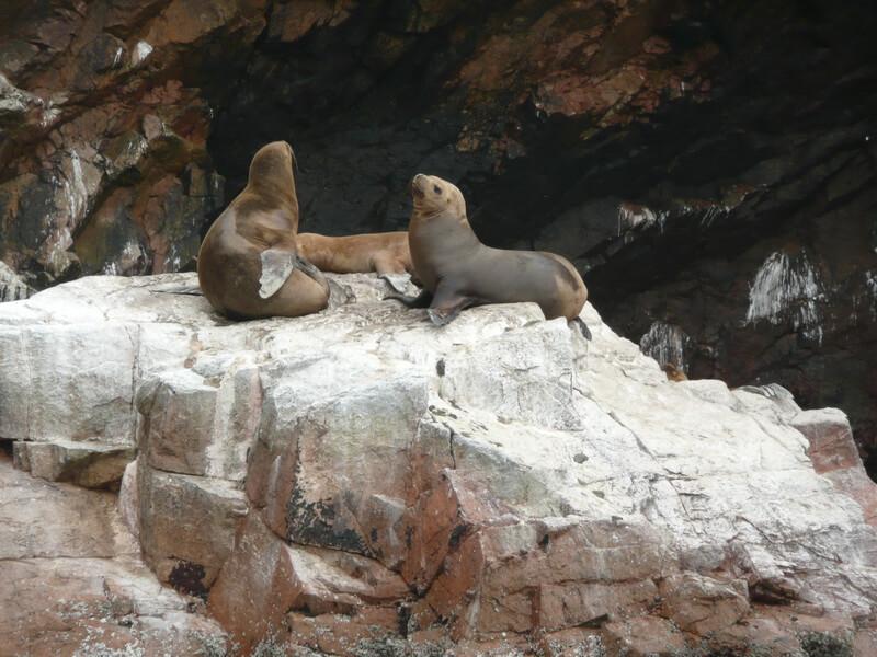 Lwy morskie - Paracas.