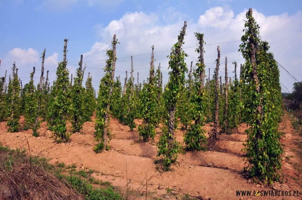 Plantacja pieprzu niedaleko Kampot.