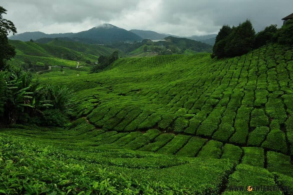 Plantacje herbaty Boh - Cameron Highlands.
