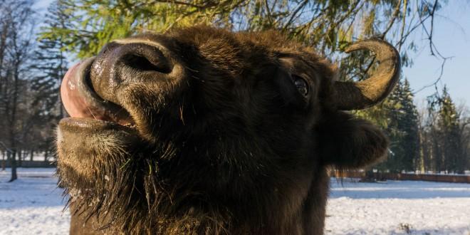 Żubry, dziki i tarpany, czyli w poszukiwaniu zimy!