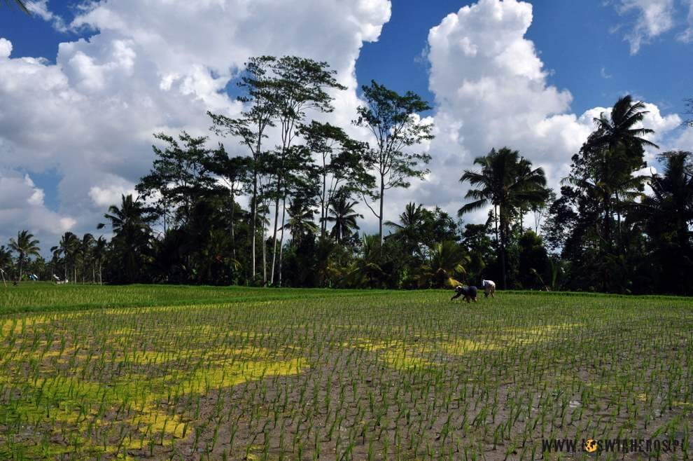 Balijskie pola ryżowe, Indonezja.