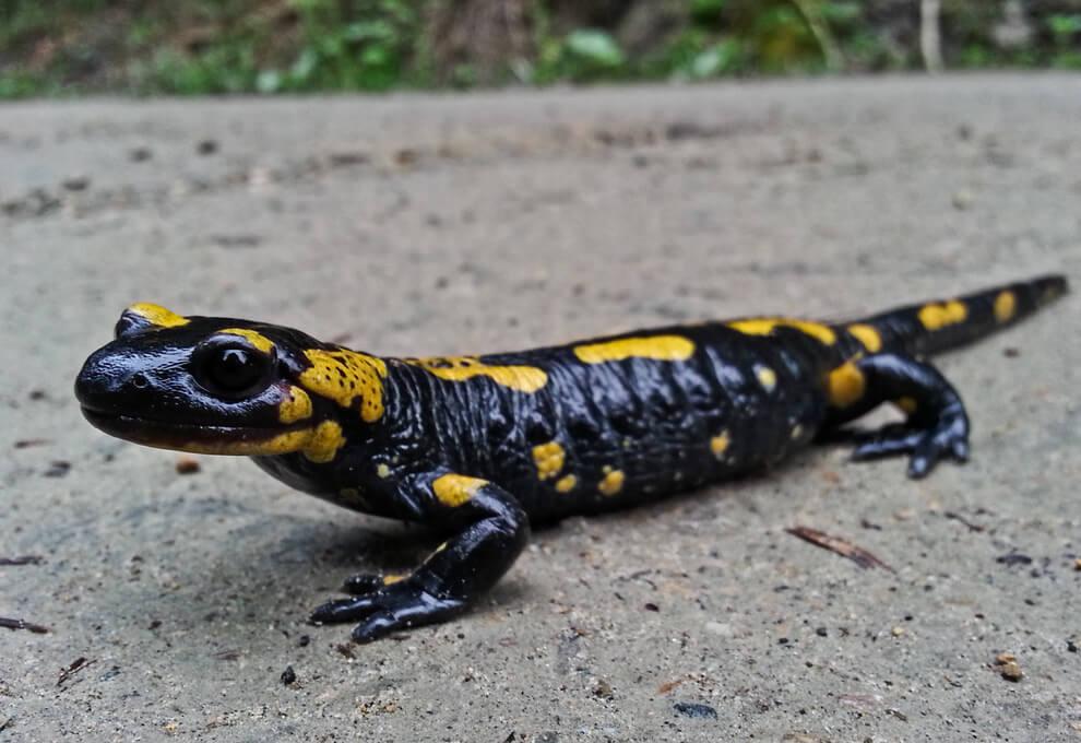 Stryszawska jaszczurka, czyli salamandra plamista.