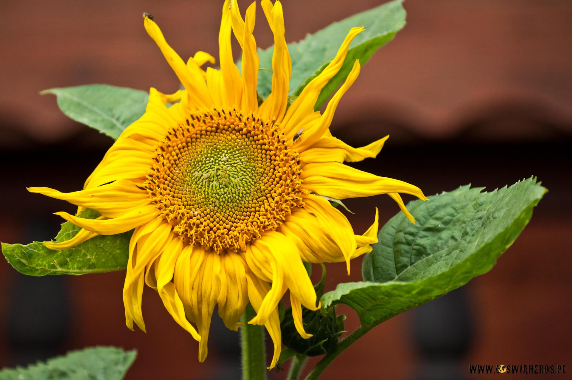Słonecznik A[f/4, 200mm]