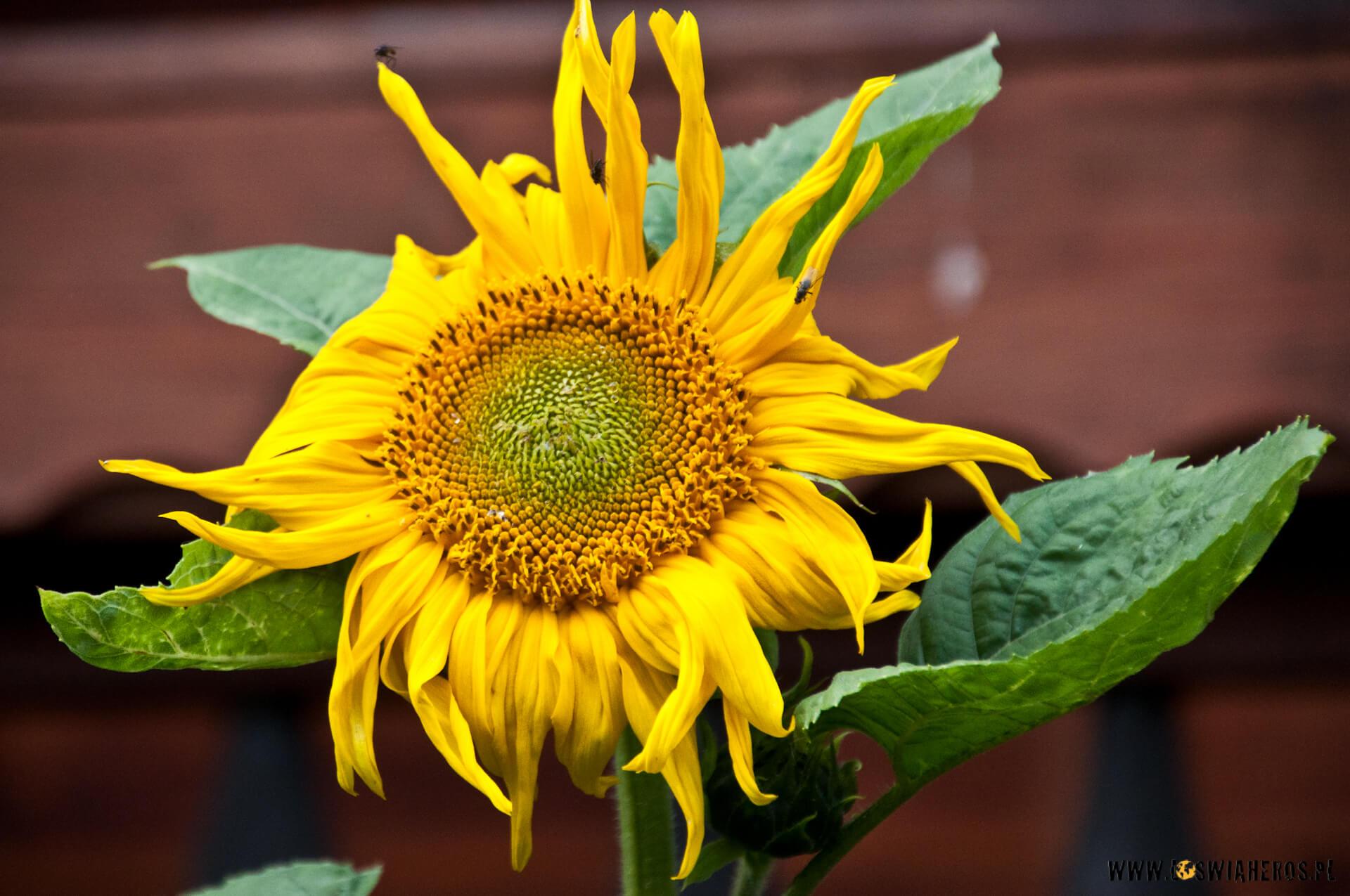 Słonecznik B [f/6.3, 200mm]