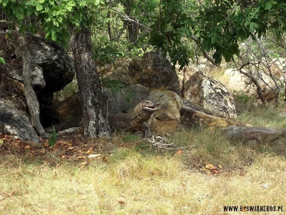 Kamuflaż smoków Komodo to podstawowa strategia polowania.