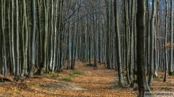 Bukowy las pod Jałowcem w Stryszawie.
