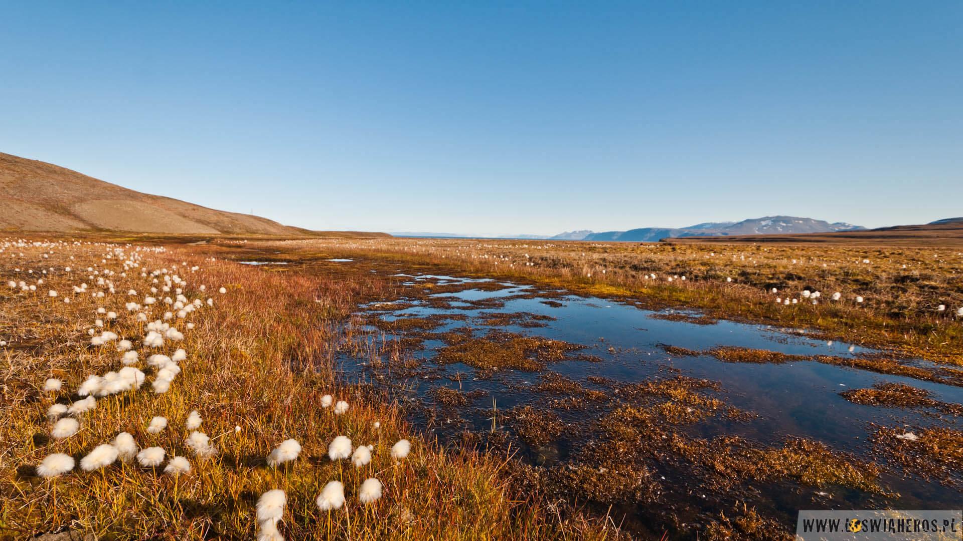Tundra wsierpniu, tonasiąknięta wodą gąbka.