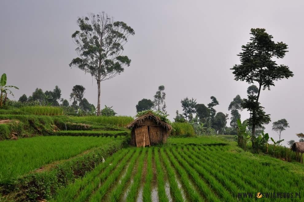 Tarasy ryżowe wokół Bandung