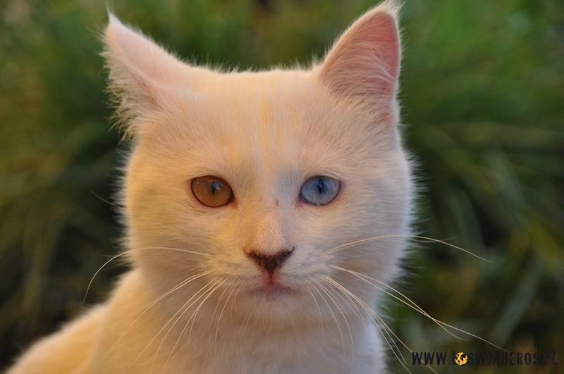 Kotek rasy VAN.